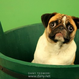 Pug in Green Bucket Prop