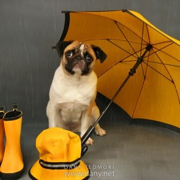 Pug Under the Rain with Umbrella Photo